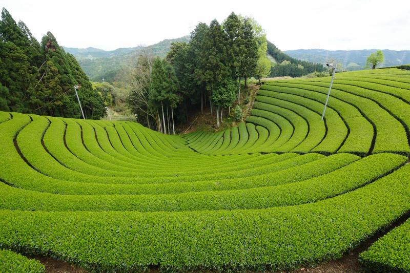 Trà Nhật Bản