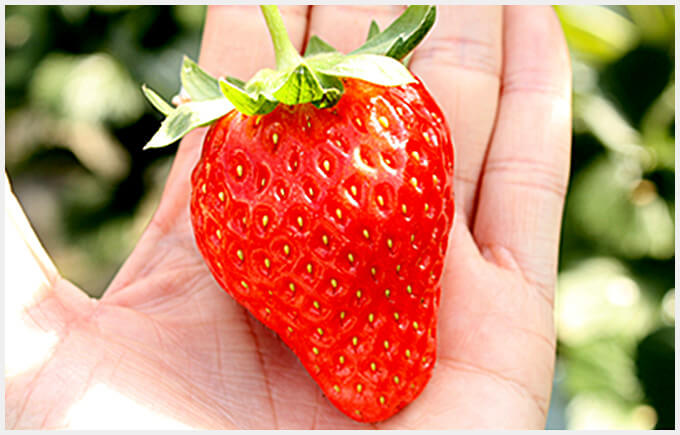 Japanese Strawberry Varieties - Amaou