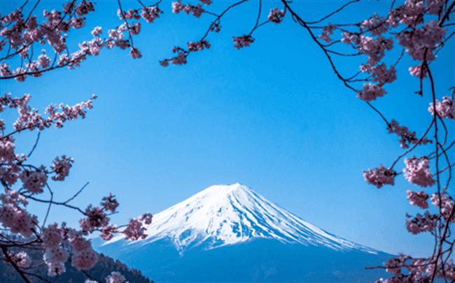 Beautiful Mt Fuji surrounded by sakura blossoms