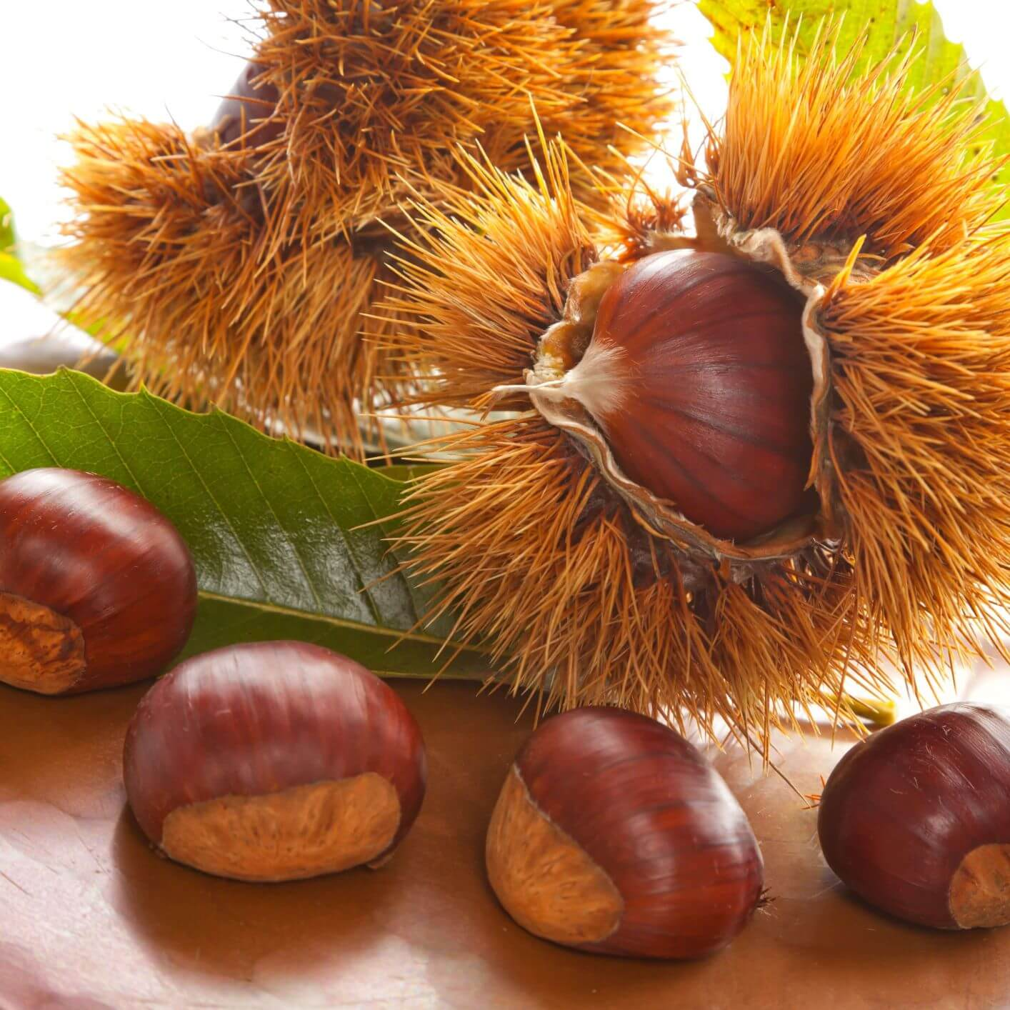 Japanese Chestnut or Kuri